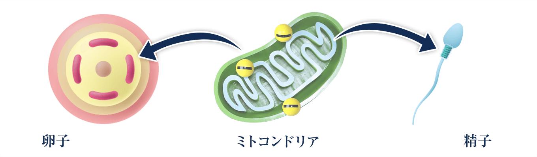卵子と精子のミトコンドリア